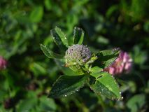 Brilliant dew on a clover Royalty Free Stock Images