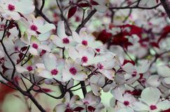 Brilliant dogwood Royalty Free Stock Photography