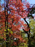 Brilliant Fall Colors - Appalachian Forest Autumn Foliage. Brilliant Fall Colors - Appalachian Forest in Autumn. Trees changing color from green to brilliant royalty free stock images