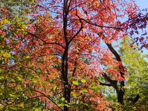 Brilliant Fall Colors - Appalachian Forest Autumn Foliage. Brilliant Fall Colors - Appalachian Forest in Autumn. Trees changing color from green to brilliant royalty free stock photos