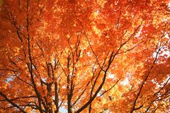 Brilliant Fall Colors on This Maple Tree Stock Photography