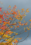 Brilliant fall leaves against a storm gray sky. Royalty Free Stock Photo