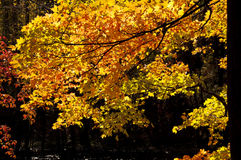 Brilliant fall leaves on a black background. Royalty Free Stock Photos