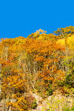 Brilliant Fall Trees on a Mountain Hillside III Royalty Free Stock Photos