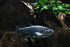 Brilliant fish swimming under water in a wild river. royalty free stock photography