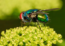 Brilliant fly Stock Photography