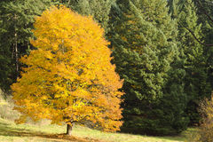 A brilliant gold autumn maple in a meadow Royalty Free Stock Photos