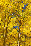 Brilliant Gold Quaking Apsen. In a Colorado autumn Royalty Free Stock Image