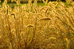 Brilliant Golden Bristlegrass Stock Photography