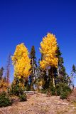 Brilliant golden fall aspen colors Stock Image