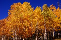 Brilliant golden fall aspen colors Stock Images