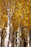 Brilliant golden fall aspen colors Royalty Free Stock Photos