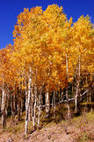 Brilliant golden fall aspen colors Stock Photography