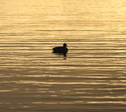 Brilliant golden waters reflecting the sunrise color, bird drift. Ing calmly in silhouette, square composition Stock Image