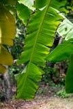 Brilliant green  banana leaves Royalty Free Stock Photography
