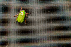 A brilliant green beetle on a screen Royalty Free Stock Images