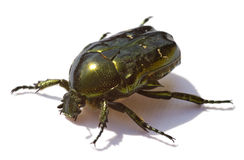 The Brilliant green bug isolated Royalty Free Stock Photos