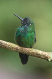 Brilliant green hummingbird from Costa Rica Stock Image