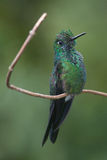 Brilliant green hummingbird from Costa Rica Stock Images
