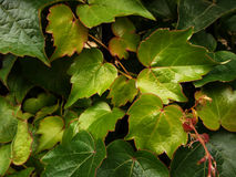 Brilliant green leaves Royalty Free Stock Image