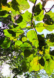 Brilliant green leaves in Thung Salaeng Luang National Park Royalty Free Stock Photos
