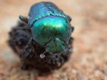 Brilliant green scarab beetle Royalty Free Stock Photo