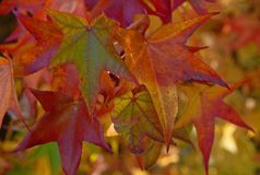 Brilliant Maple Leaves in Fall Stock Photography