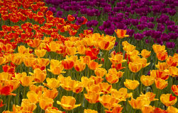 Brilliant Multicolored Tulips Royalty Free Stock Photography