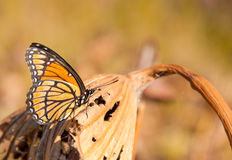 Brilliant orange black and white Viceroy butterfly Stock Photo