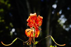 Brilliant orange day tiger lily Stock Images