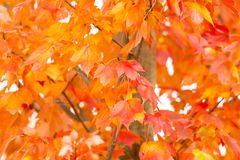Brilliant Orange Fall Leaves. The brilliant and colorful orange, peach, and tangerine shades seen on these maple leaves occur when photosynthesis stops as the Royalty Free Stock Photo