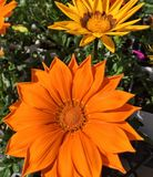 Brilliant orange gazania blossoms. Brilliant orange striped gazania (Gazania rigens) blossoms in the garden Stock Images