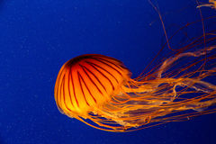 Brilliant Orange Jellyfish in Blue Water Royalty Free Stock Photos