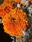 Brilliant orange marigold flowers. In a bouquet with white statice Stock Photo
