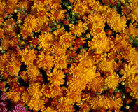 Brilliant Orange Mums Royalty Free Stock Photos