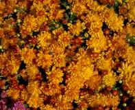 Brilliant Orange Mums Royalty Free Stock Photos