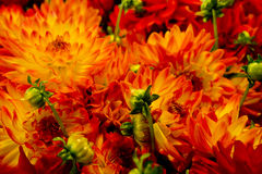 Brilliant Orange and Red Flowers Royalty Free Stock Images