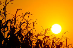 Brilliant orange sunrise over a Corn field Stock Photos