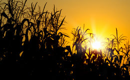 Brilliant orange sunrise over a Corn field Royalty Free Stock Photography