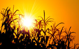 Brilliant orange sunrise over a Corn field Stock Photo