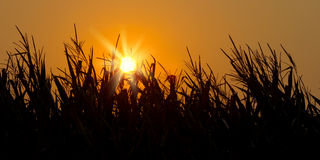 Brilliant orange sunrise over a Corn field Royalty Free Stock Image