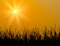 Brilliant orange sunrise over a Corn field Stock Photography