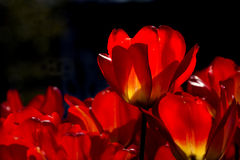 Brilliant Orange Tulips with Dark Background Stock Photo