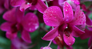 Brilliant Pink Orchid Royalty Free Stock Photo