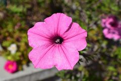Brilliant Pink Petunia Flower Bloom during Spring. Brilliant Pink and Dainty Petunia Flower Bloom during Spring showing off with soft lines Royalty Free Stock Photos