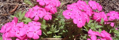 Brilliant Pink Plox Horizontal. Glorious pink phlox blooms brilliantly against a bed of pine needles in a forest garden.  The symbolic meaning of this perennial Royalty Free Stock Photography
