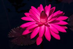 Foxfire Tropical Water Lily with Purple Lily Pad Royalty Free Stock Photo
