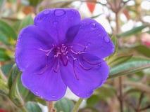 Brilliant Purple Flower of the Tibouchina Urvilleana Stock Photo
