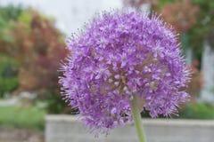 Free Brilliant Purple Leek Flower Stock Photography - 54904152