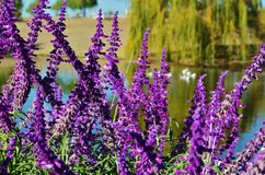 Brilliant purple wisteria blossoms. Brilliant purple wisteria plants with white geese floating on a lake in the background Royalty Free Stock Photos